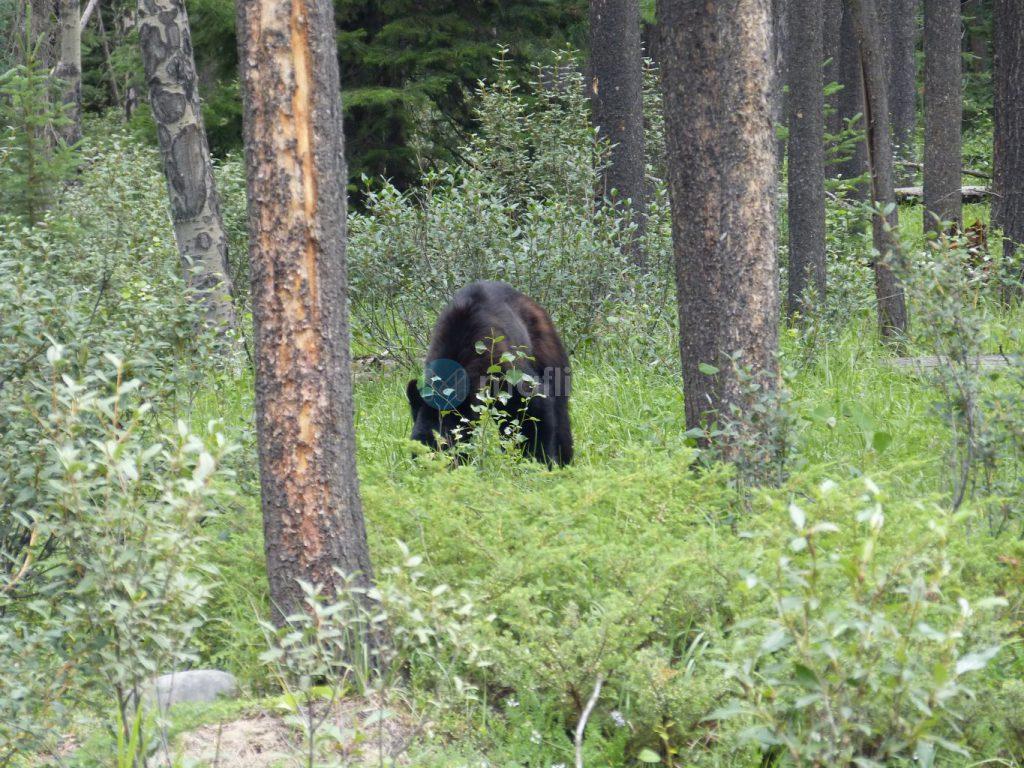 (Schwarz)Bär in freier Wildbahn